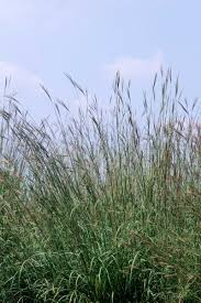 andropogon big bluestem ornamental grass greenwood nursery