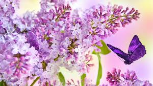 Fragrant Flowers For Garden - fragrant tag wallpapers summer lavender fragrant flowers fleur