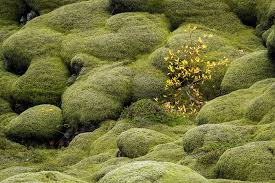 moss and iceland moss and lava mckinnell photography