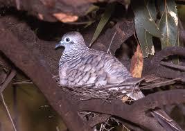 peaceful dove birds in backyards