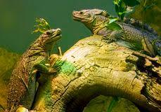 iguana reptile stock images 13 038 photos