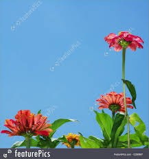 zinnia flowers picture of zinnia flowers and blue sky