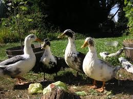 farm duck breeds