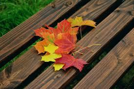 free photo fall foliage maple leaves free image pixabay