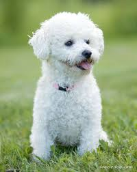 bichon frise training bichon frise dog breed reviews and images saveourpuppy com