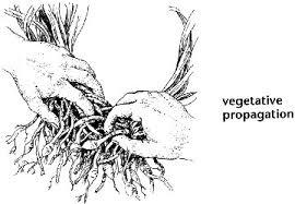Vegetative Propagation By Roots - how vegetative propagation works