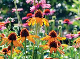 echinacea flower echinacea varieties varieties with flower colors