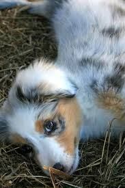 corgi x australian shepherd 54 best dogs i u0027d like to have images on pinterest animals