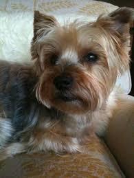silky terrier with haircut silky terrier short haircut wish list pinterest silky