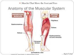 Anatomy Of A Foot Anatomy Of The Muscular System Ppt Video Online Download