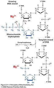 sandwalk how rna polymerase works the chemical reaction