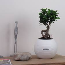 bonsai tree ficus ginseng contemporary indoor house or office
