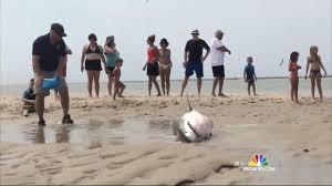 great white shark saved by beachgoers on cape cod nbc news