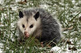 spirit halloween jumping cat opossum symbolism a message spirit animal totems