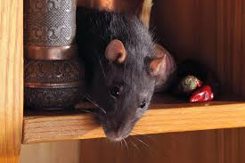 Garden Rodents Types 4 Destructive Things A Rat Or Mouse Will Do In A House