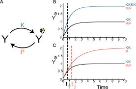 an asymmetrically balanced organization of kinases versus