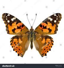 painted lady vanessa cardui beautiful orange stock photo 542449933