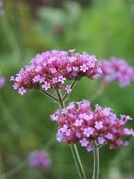 Verbena Flower Verbena Free Pictures On Pixabay