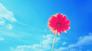 pink gerbera flower wallpapers in jpg format for free download