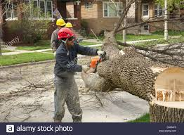 Emerald Ash Borer Map Workers Remove A White Ash Tree Killed By Emerald Ash Borer Stock