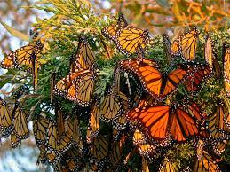 monarch butterflies lessons tes teach