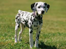 dalmatian history personality appearance health pictures