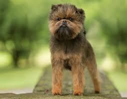 affenpinscher brown akc canine health foundation