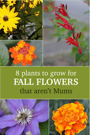 what to plant instead of mums for fall flowers garden experiments