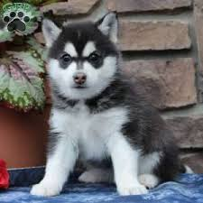 pomsky puppies for sale pomsky breeders greenfield puppies