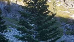 christmas tree hunting in the sierra mountains sierra rec magazine