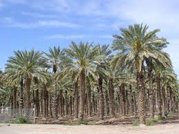 can you grow date palms in transplanet