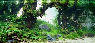 aquascaping layouts with stone and driftwood mizube is an aquascaping style where the branches of driftwood