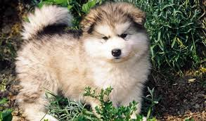 american eskimo dog ireland 11 american dog breeds today com