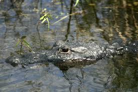 shoot concrete alligator upi