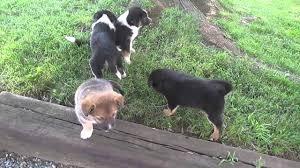 australian shepherd mix puppies for sale australian shepherd mix puppies for sale in pa youtube