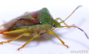 Bed Bugs Smell What Are Stink Bugs With Pictures