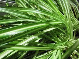 Silk Plants Direct Jade Plant Jade Plant Cheyenne Garden Gossip