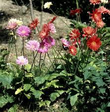 plante vivace soleil gerbera planter et cultiver u2013 ooreka