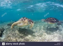 imagenes tortugas verdes dos tortugas verdes marinas nadan sobre un arrecife poco profundas