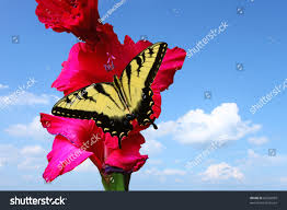 eastern tiger swallowtail butterfly facing left stock photo