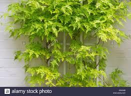 jasminum officinale u0027fiona sunrise u0027 jasmine leaves on a white