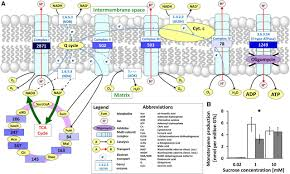 bioenergetics of monoterpenoid essential oil biosynthesis in