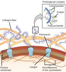 the extracellular matrix and cell wall article khan academy