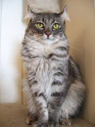 american curl simple english wikipedia the free encyclopedia