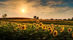 salina ks sunflower field by kansas state university 21 best colleges in kansas for 2017