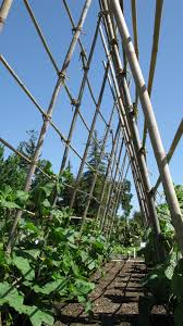 pole bean planting tips harvest to table