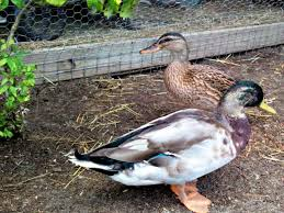 best duck breeds for pets and egg production hgtv