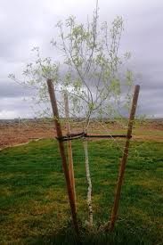 tree stakes the parable of the tree stakes celebrate independence and