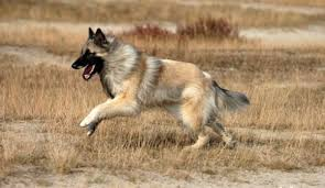 belgian sheepdog varieties belgian shepherd dog tervuren fantastic pet encyclopedia