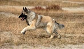 belgian shepherd howling belgian shepherd dog tervuren fantastic pet encyclopedia